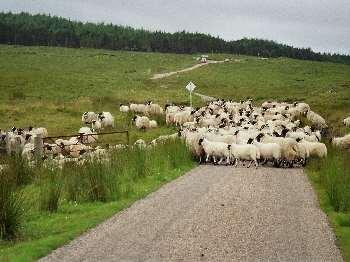 Schafe....