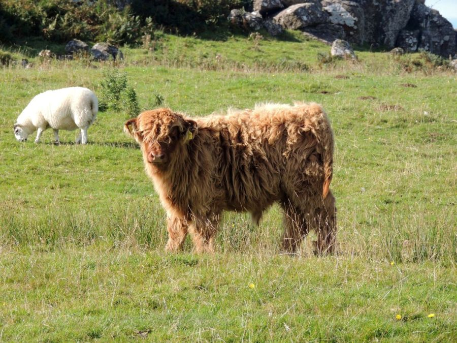 young Highland cattle glengorm